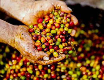 coffee growing