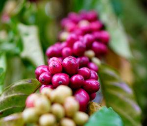green coffee-2